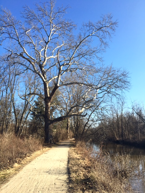 Tree on the Delaware & Raritan Canal Towpath, New Jersey