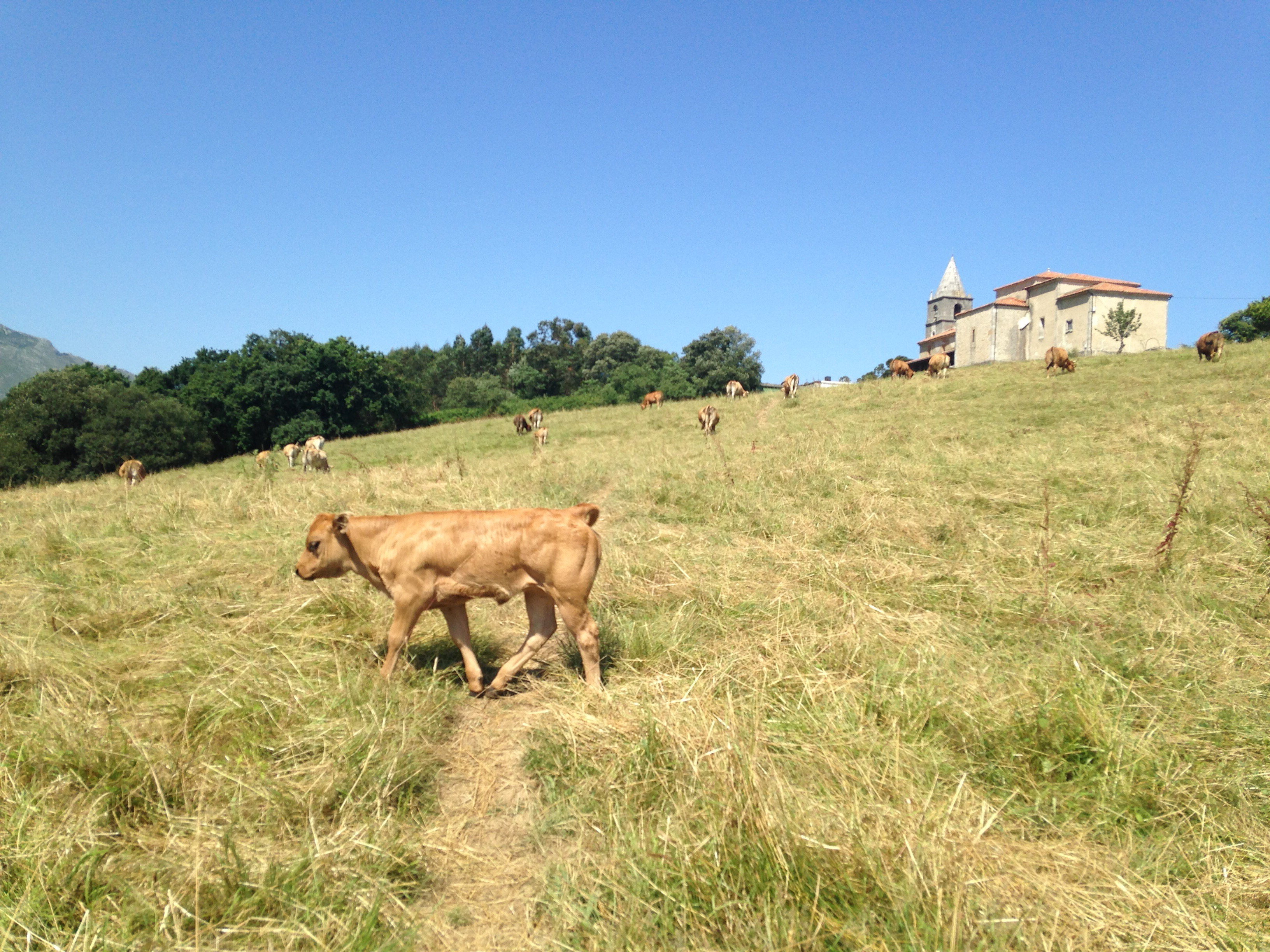 Baby cows on the Camino del Norte